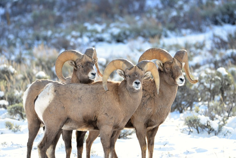 Three bighorn sheep clustered together in a snow-covered Grand Teton in winter landscape