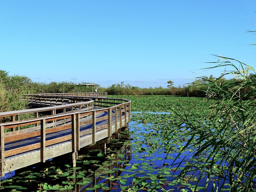 A scenic wooden boardwalk winding through a marsh with lots of plant life on the surface of the water, the Anhinga trail is a must on any Everglades itinerary.