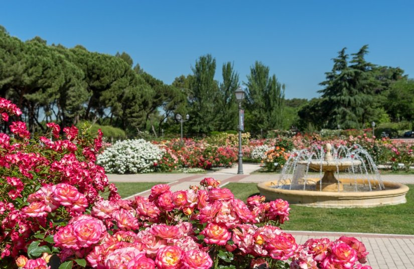 View of a park with a fountain and roses in both background and foreground.