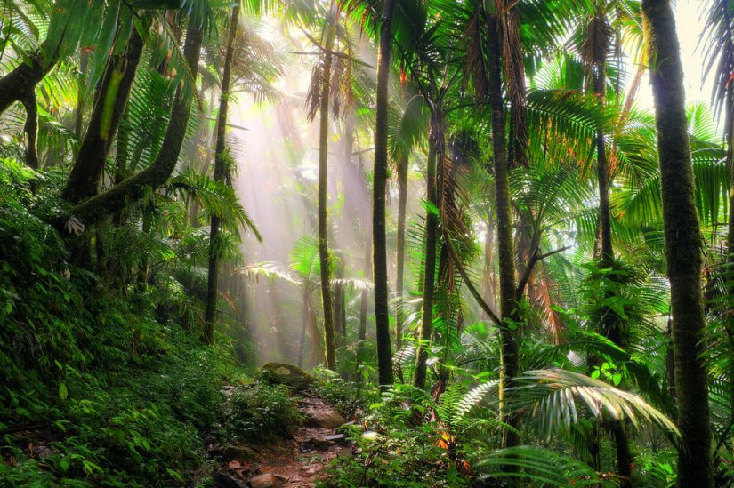 the trees in the rainforest of el yunque national forest