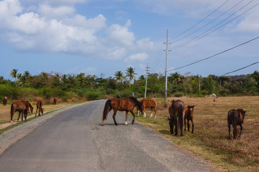 several wild horses and baby horses roaming the street in vieques puerto rico