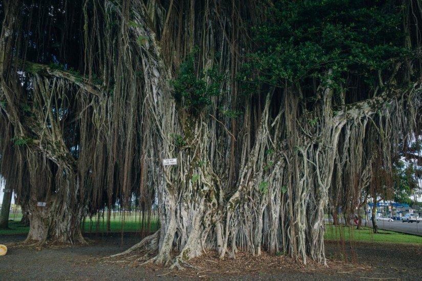 a giant banyan tree in big island hawaii