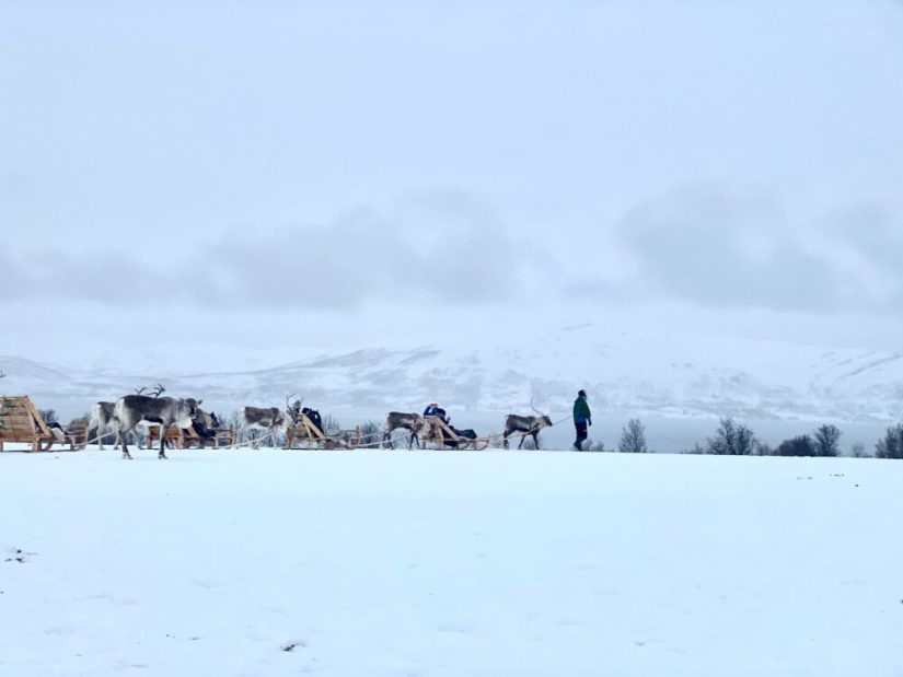 reindeer pulling sleds in arctic norway with a guide leading the pack