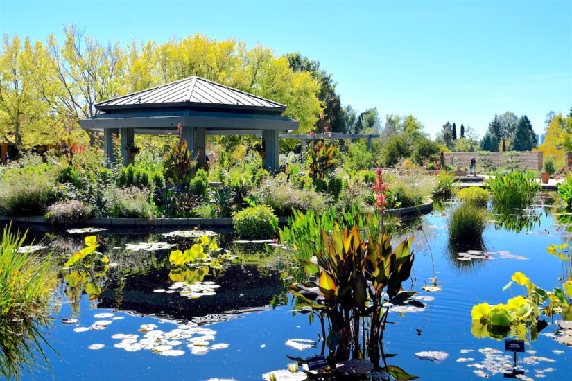 Lily pads and a pond and a gazebo in Denver Botanic Gardens