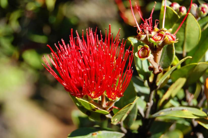 the brilliant red flower o the lehua flower growing on the o'hia plant