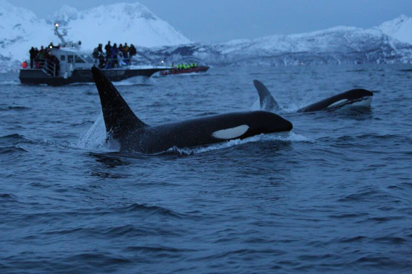 Orcas coming out of the water for a breath of air in Norway in Skjervoy a popular whale watching destination near Tromso