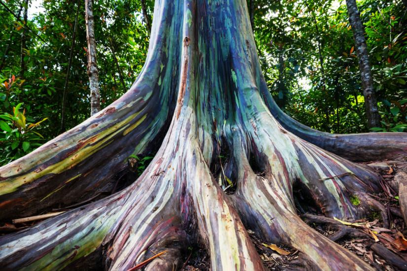 the multicolored bark of the rainbow eucalyptus tree (blue, purple, red, yellow, and more)