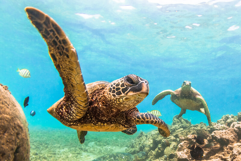 Two sea turtles under the water close to the camera