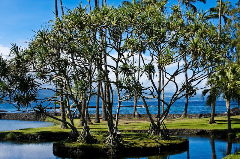 trees by the ocean in hilo hawaii floating next to a lagoon