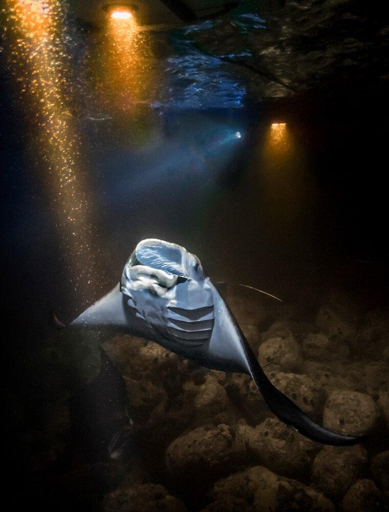 a manta ray feeding at night illuminated by lights on the boat