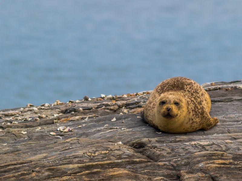 A very cute brown harbor seal sitting on a rock surrounded by shells