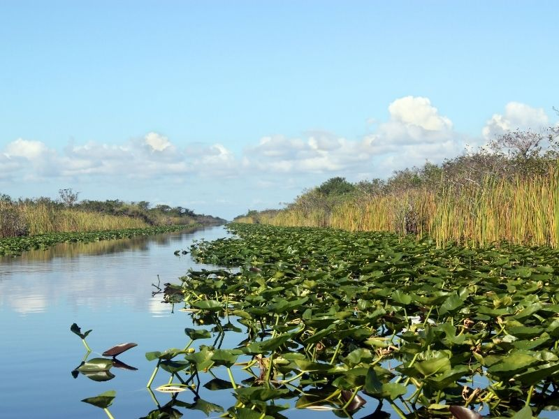 swamp in the everglades with lily pads and reeds