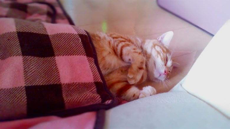 gatto kotatsu inverno