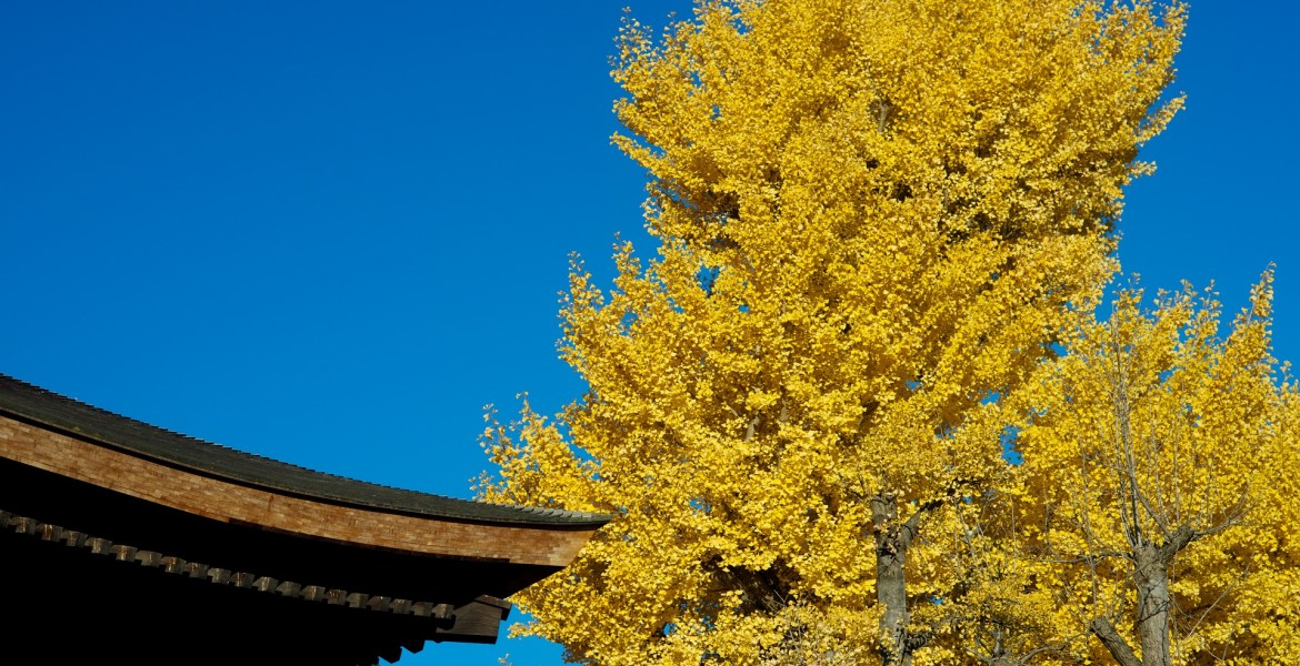 autunno giappone gingko