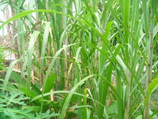 Sugarcane / canne à sucre