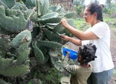 Picking cactus!