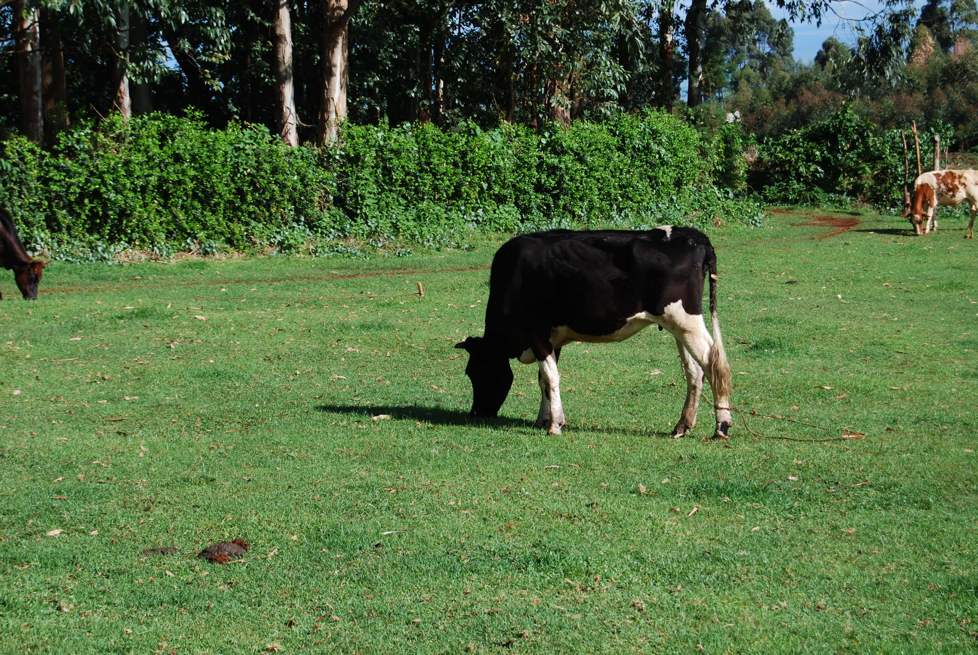 An english cow in africa