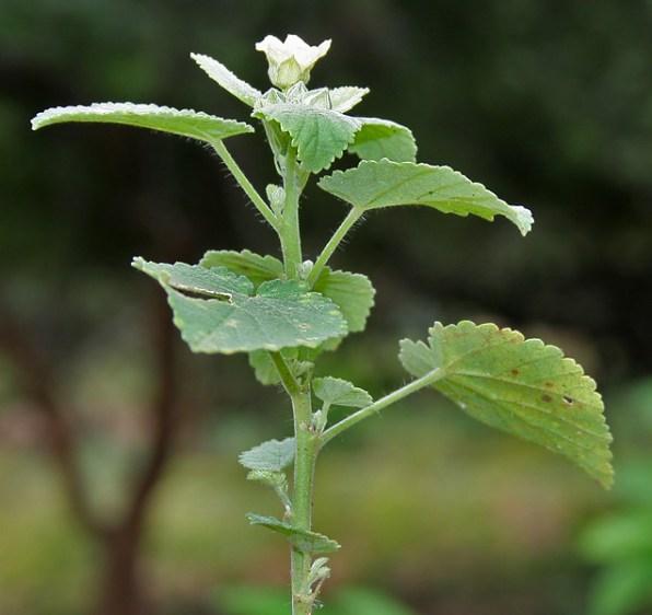sida-cordifolia-1