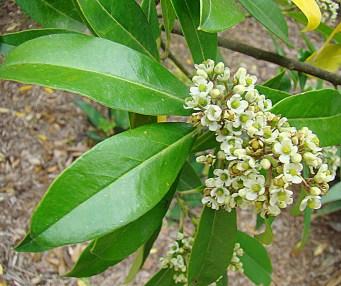 yerba mate Ilex paraguariensis ivy fam. N.Arg etc