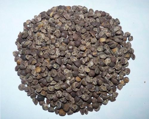 Hawaiian baby woodrose seeds 1