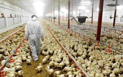 Μυστικοί ερευνητές αποκαλύπτουν την κακοποίηση των ζώων στις κτηνοτροφικές μονάδες