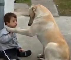 cao terapeuta labrador e crianca sindorme de down