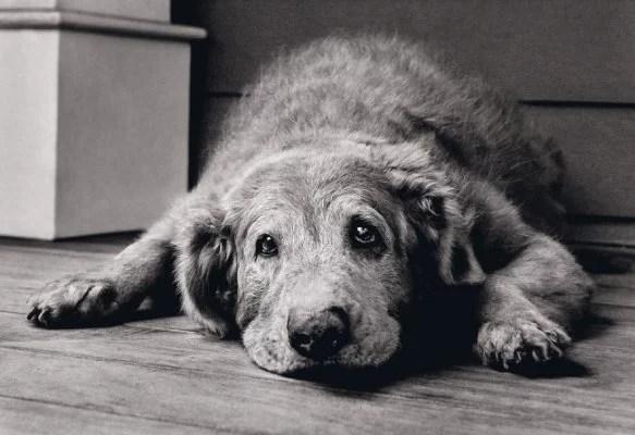 Idade Senil no Cachorro varia conforme o indivíduo