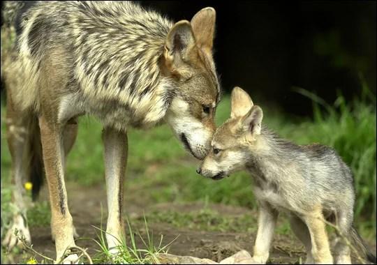 filhote de lobo e diferenças com os cachorros