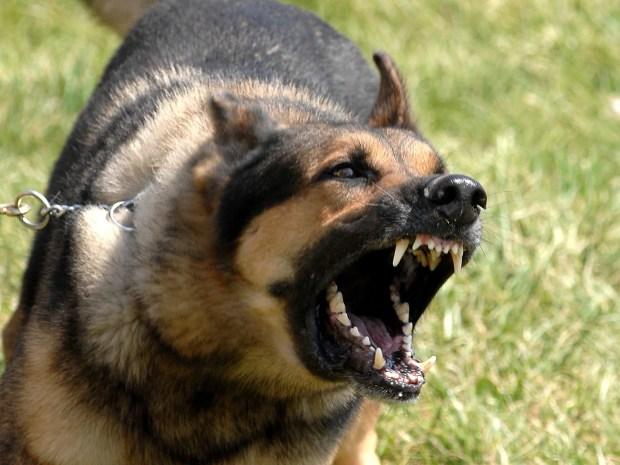 agressividade em cães pode levar a acidentes