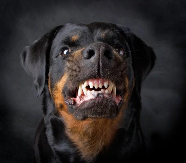 O rosnado revela algo sobre o tamanho do cão