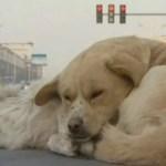cachorro-atropelado-China