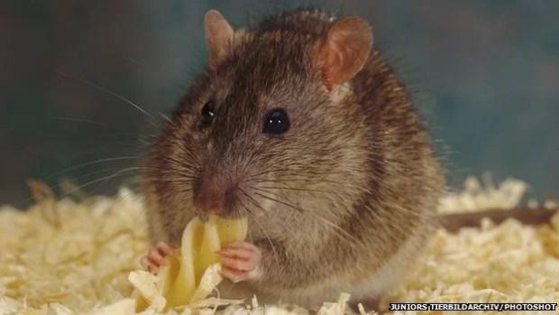 arrependimento em ratos experimento comportamento animal