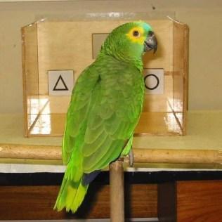 """Papagaio """"Juca"""", em sessão de coleta de dados para a pesquisa de Helena Truksa. 2003."""