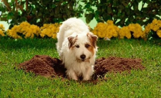 cavar jardim problema de comportamento cães cachorro ethos animal helena truksa