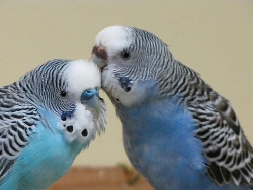 femeas de periquito australiano preferem machos inteligentes ethos animal