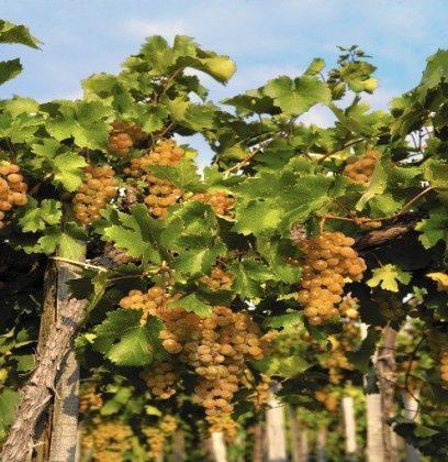 Enjoy Chardonnay, Sauvignon Blanc, Pinot Gris? Try Hungary's Furmint!
