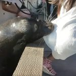Young girl rescued after sea lion drags her into busy Canadian harbor