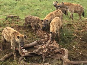 Serengeti faces yet another silent but deadly poaching threat