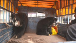 The last known dancing bears in Nepal rescued
