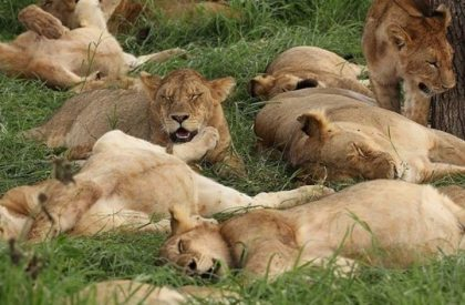 Uganda Tour Operators condemn malicious killing of lions