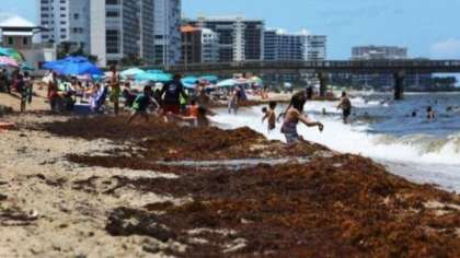 Florida Tourism Crisis: Beaches under threat because of seaweed