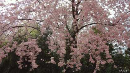 Shillong the place to be for India's International Cherry Blossom Festival