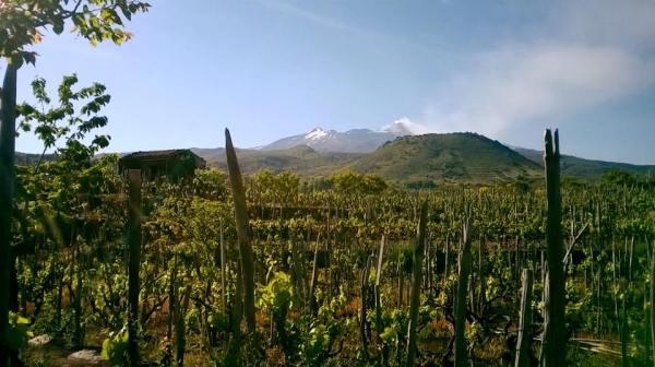 monterosso_vineyard