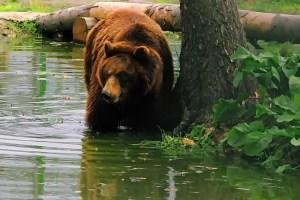 ребілітаційний центр бурих ведмедів в Закарпатті