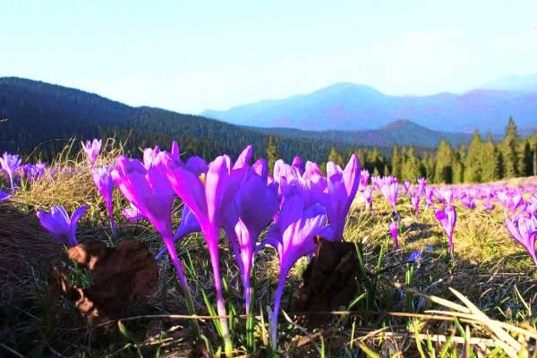 Цветение крокусов / путешествие по Карпатам