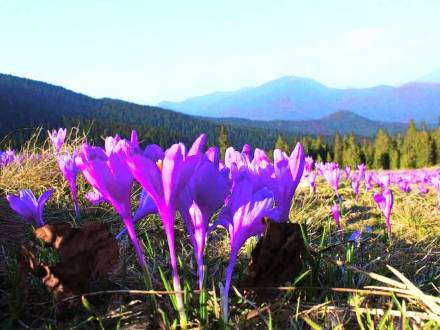 Тури в Карпати, екскурсії в Карпати - Цвітіння крокусів / подорож по Карпатам