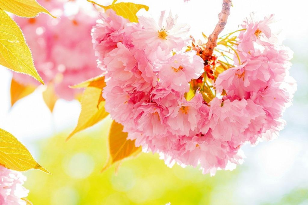 цвітіння сакури в Закарпатті / КВІТКОВІ ТУРИ ПО УКРАЇНІ