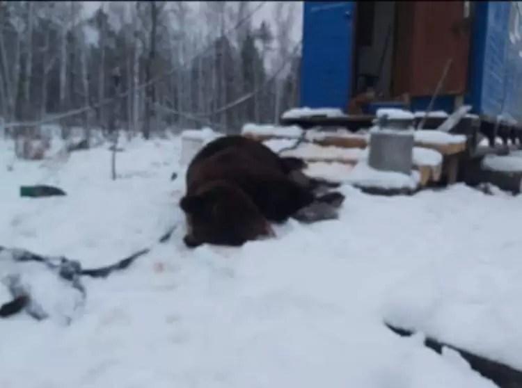 В районе Нефтеюганска медведь шатун пришёл в вахтовый поселок и разгромил вагон столовой.