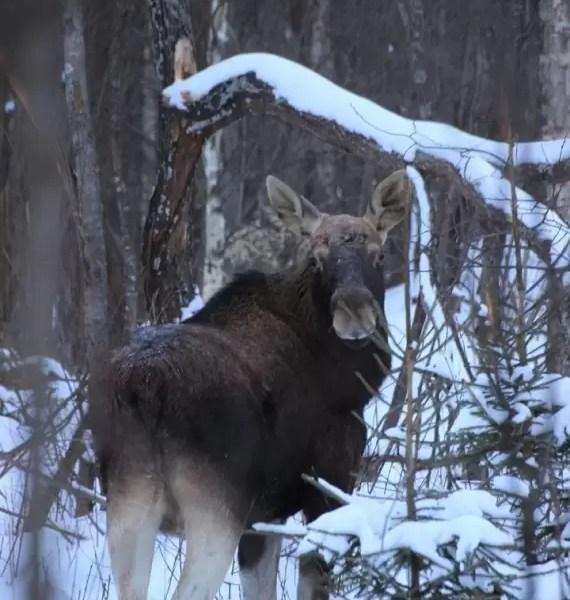 Житель Сургута опубликовал фото лося, которого встретил в лесу