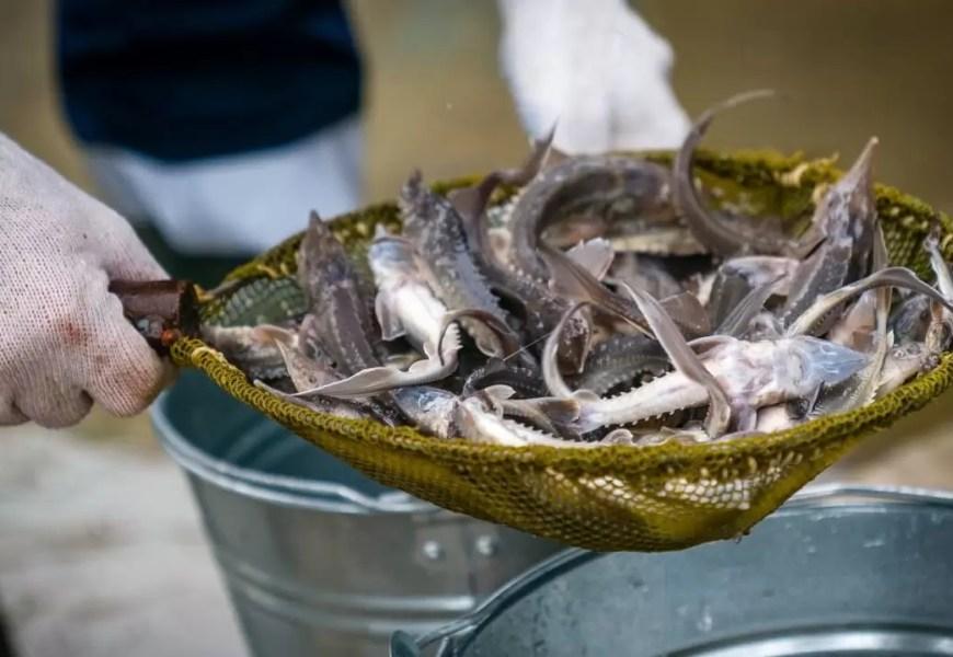 В Югре восстанавливают популяцию сибирского осетра
